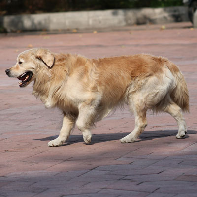 Lameness & Limping in Dogs