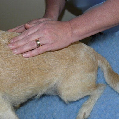 Canine Medical Conditions